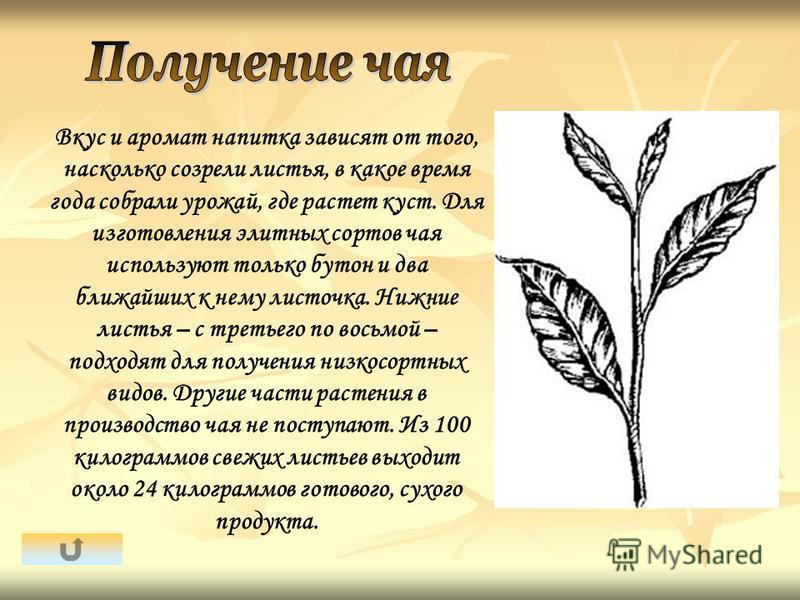 Вкус и аромат напитка зависят от того, насколько созрели листья, в какое время года собрали урожай, где растет куст. Для изготовления элитных сортов чая используют только бутон и два ближайших к нему листочка. Нижние листья – с третьего по восьмой –