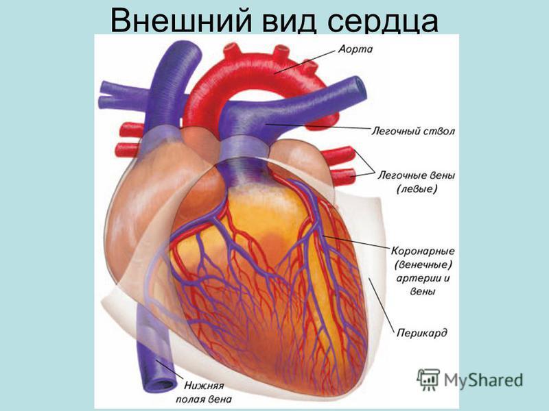 Внешний вид сердца