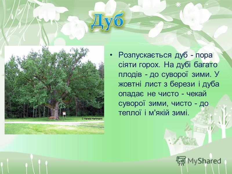 Розпускається дуб - пора сіяти горох. На дубі багато плодів - до суворої зими. У жовтні лист з берези і дуба опадає не чисто - чекай суворої зими, чисто - до теплої і м'якій зимі.