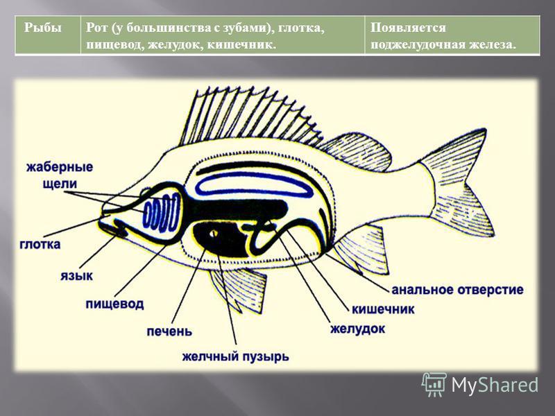 Рыбы Рот ( у большинства с зубами ), глотка, пищевод, желудок, кишечник. Появляется поджелудочная железа.