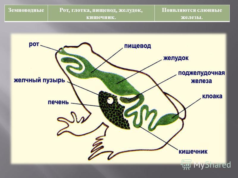 Земноводные Рот, глотка, пищевод, желудок, кишечник. Появляются слюнные железы.