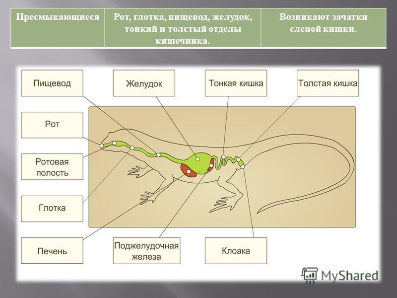 Пресмыкающиеся Рот, глотка, пищевод, желудок, тонкий и толстый отделы кишечника. Возникают зачатки слепой кишки.
