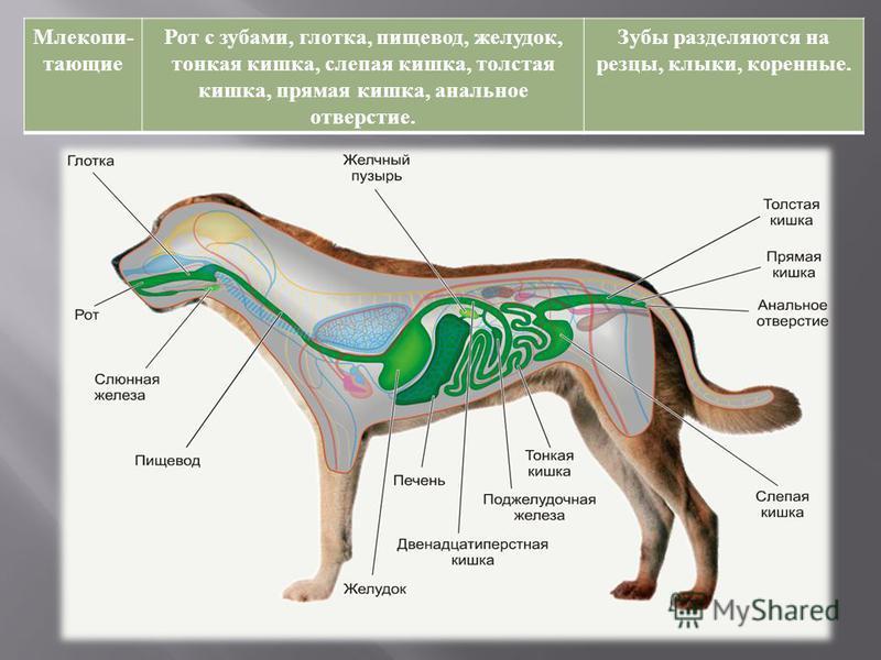 Млекопи - тающие Рот с зубами, глотка, пищевод, желудок, тонкая кишка, слепая кишка, толстая кишка, прямая кишка, анальное отверстие. Зубы разделяются на резцы, клыки, коренные.