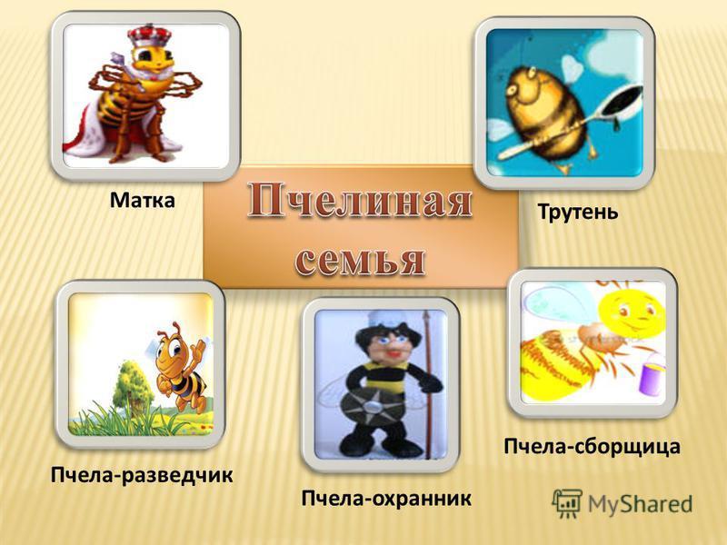 Матка Пчела-сборщица Трутень Пчела-охранник Пчела-разведчик