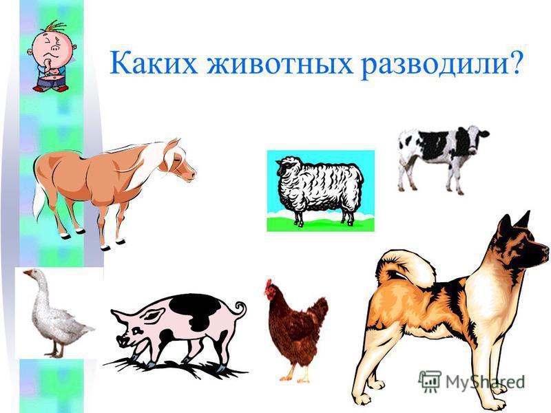 Каких животных разводили?