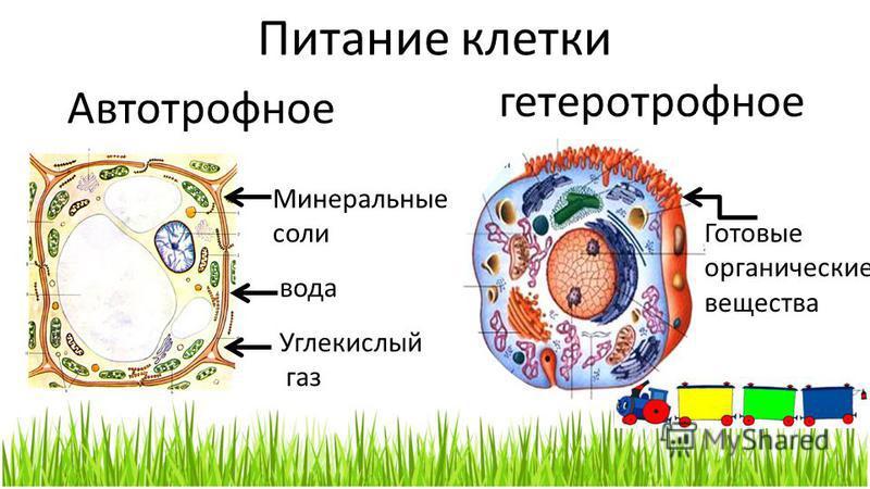Питание клетки Автотрофное гетеротрофное вода Минеральные соли Углекислый газ Готовые органические вещества