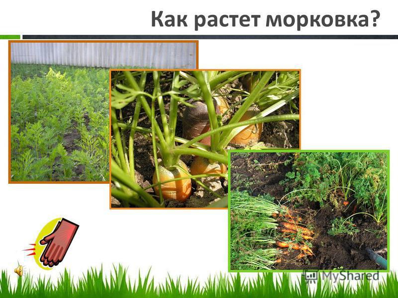 Как растет картошка?