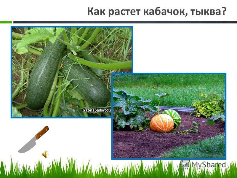 Как растет капуста?