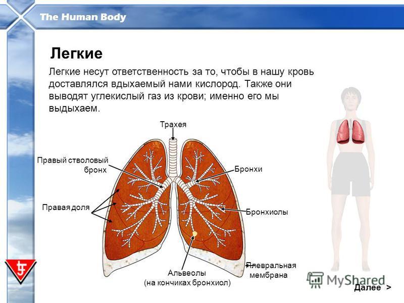 The Human Body Далее > Легкие Легкие несут ответственность за то, чтобы в нашу кровь доставлялся вдыхаемый нами кислород. Также они выводят углекислый газ из крови; именно его мы выдыхаем. Правый стволовый бронх Трахея Бронхи Бронхиолы Плевральная ме