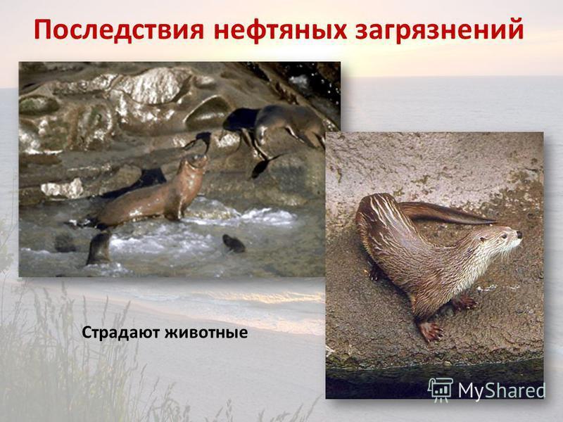 Последствия нефтяных загрязнений Страдают животные