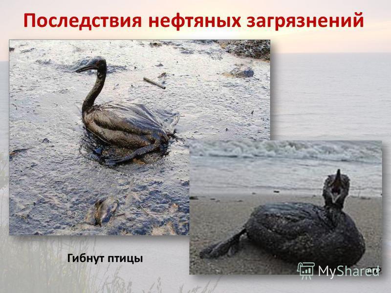 Последствия нефтяных загрязнений Гибнут птицы