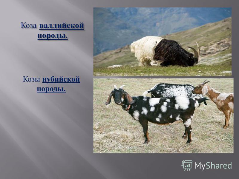 Коза альпийской породы.