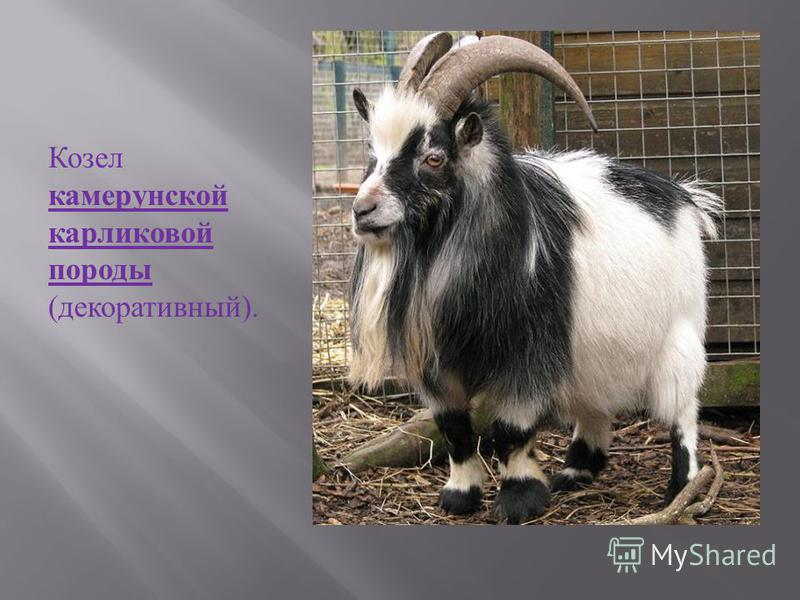 Каширские козы Шаль, связанную из пуха кашмирской козы, можно протянуть целиком через перстень.