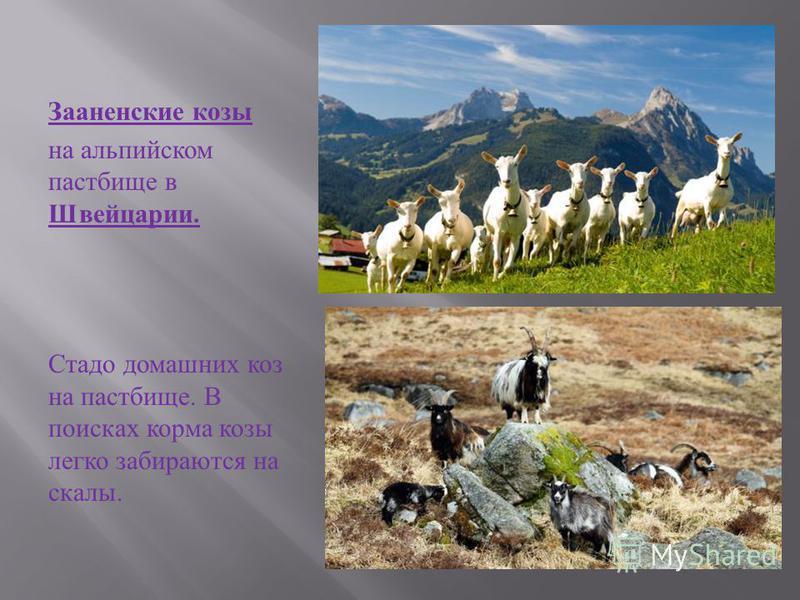 Домашние козы относятся к одним из самых древних домашних животных. Они были одомашнены около 9000 лет назад позже собак, но раньше кошек, лошадей, ослов и овец. Интересно, что домашние козы происходят от нескольких пород диких видов горных козлов, о