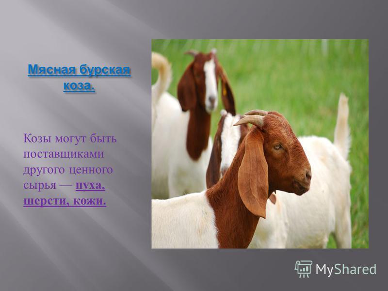 Среди других видов домашнего скота козы выделяются прежде всего своей неприхотливостью и компактными размерами. Все эти качества коз привели к тому, что они стали очень распространенными животными во всем мире. В таких благополучных странах как Швейц