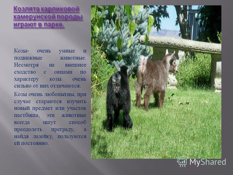 Мясная бурская коза. Козы могут быть поставщиками другого ценного сырья пуха, шерсти, кожи.