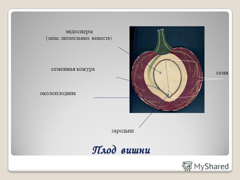 Плод вишни семя зародыш околоплодник семенная кожура эндосперм (запас питательных веществ)