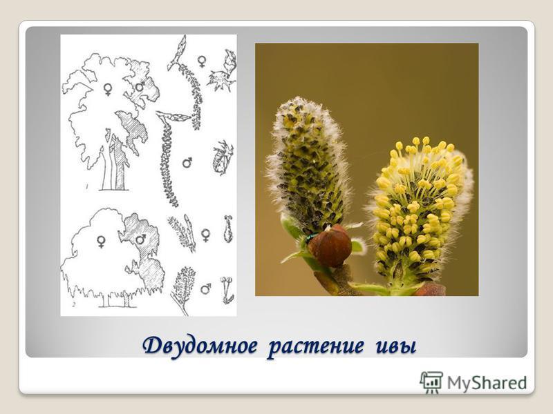 Двудомное растение ивы