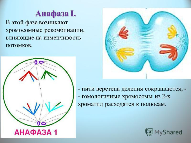 Анафаза I. В этой фазе возникают хромосомные рекомбинации, влияющие на изменчивость потомков. - нити веретена деления сокращаются; - - гомологичные хромосомы из 2-х хроматид расходятся к полюсам.