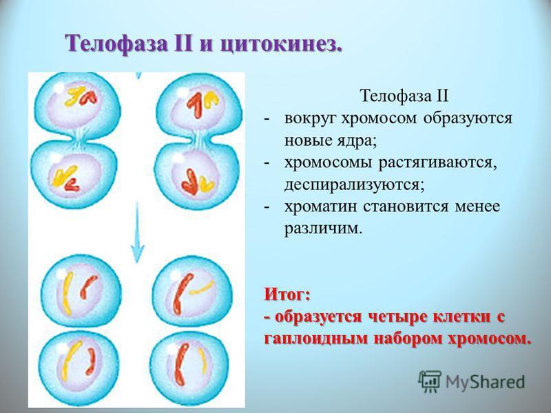 Телофаза II и цитокинез. Телофаза II -вокруг хромосом образуются новые ядра; -хромосомы растягиваются, деспирализуются; -хроматин становится менее различим.Итог: - образуется четыре клетки с гаплоидным набором хромосом.