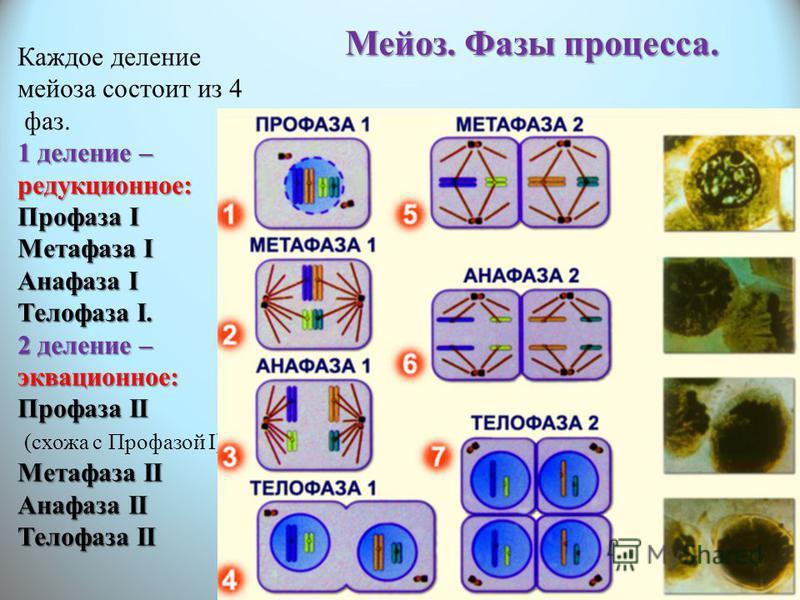 Каждое деление мейоза состоит из 4 фаз. 1 деление – редукционное: Профаза I Метафаза I Анафаза I Телофаза I. 2 деление – эквационное: Профаза II (схожа с Профазой I) Метафаза II Анафаза II Телофаза II Мейоз. Фазы процесса.
