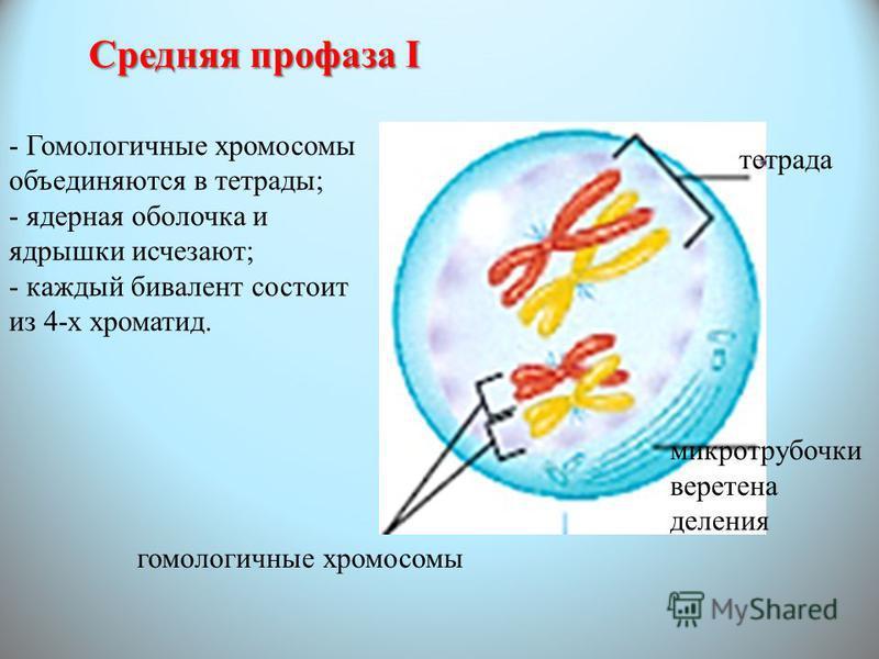 Средняя профаза I - Гомологичные хромосомы объединяются в тетрады; - ядерная оболочка и ядрышки исчезают; - каждый бивалент состоит из 4-х хроматид. гомологичные хромосомы микротрубочки веретена деления тетрада