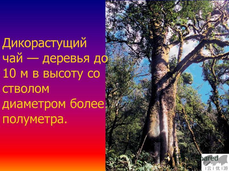 Дикорастущий чай деревья до 10 м в высоту со стволом диаметром более полуметра.