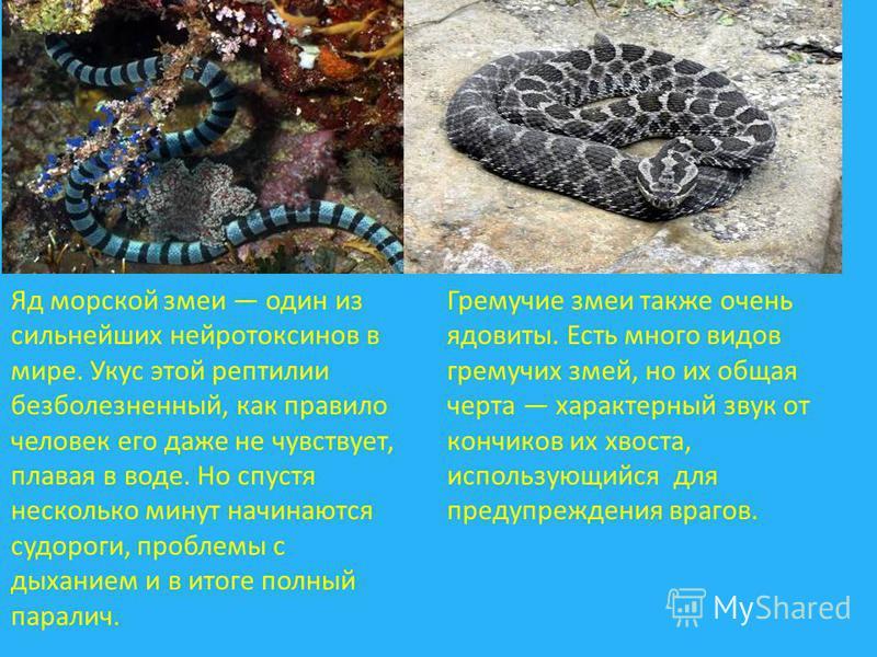 Яд морской змеи один из сильнейших нейротоксинов в мире. Укус этой рептилии безболезненный, как правило человек его даже не чувствует, плавая в воде. Но спустя несколько минут начинаются судороги, проблемы с дыханием и в итоге полный паралич. Гремучи