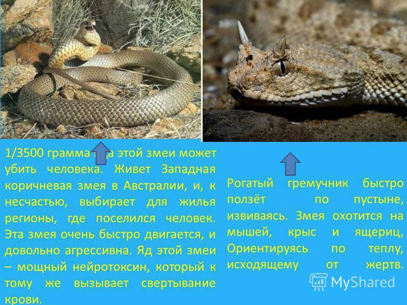 Рогатый гремучник быстро ползёт по пустыне, извиваясь. Змея охотится на мышей, крыс и ящериц, Ориентируясь по теплу, исходящему от жертв. 1/3500 грамма яда этой змеи может убить человека. Живет Западная коричневая змея в Австралии, и, к несчастью, вы