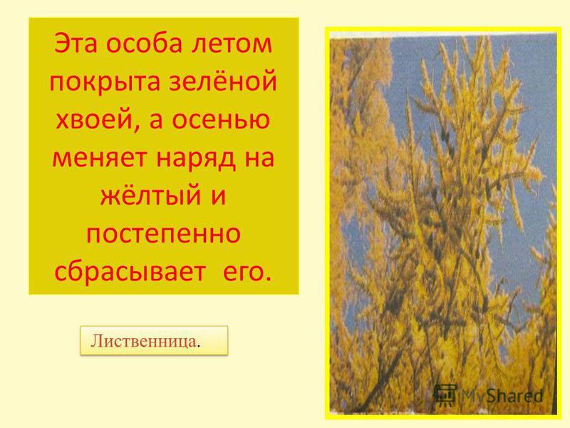 Эта особа летом покрыта зелёной хвоей, а осенью меняет наряд на жёлтый и постепенно сбрасывает его. Лиственница.