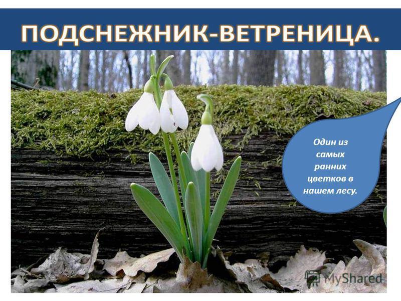 На земле исчезают цветы, С каждым годом заметнее это. Меньше радости и красоты Оставляет нам каждое лето. Если я сорву цветок, если ты сорвешь цветок, Если все: и я, и ты, если мы сорвём цветы, Опустеют все поляны, и не будет красоты. - Сейчас на Зем