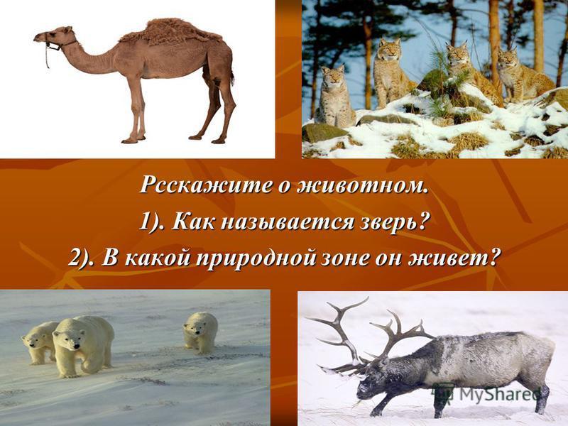 Рсскажите о животном. 1). Как называется зверь? 2). В какой природной зоне он живет?