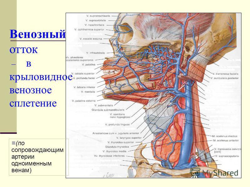 Венозный отток – в крыловидное венозное сплетение (по сопровождающим артерии одноименным венам)