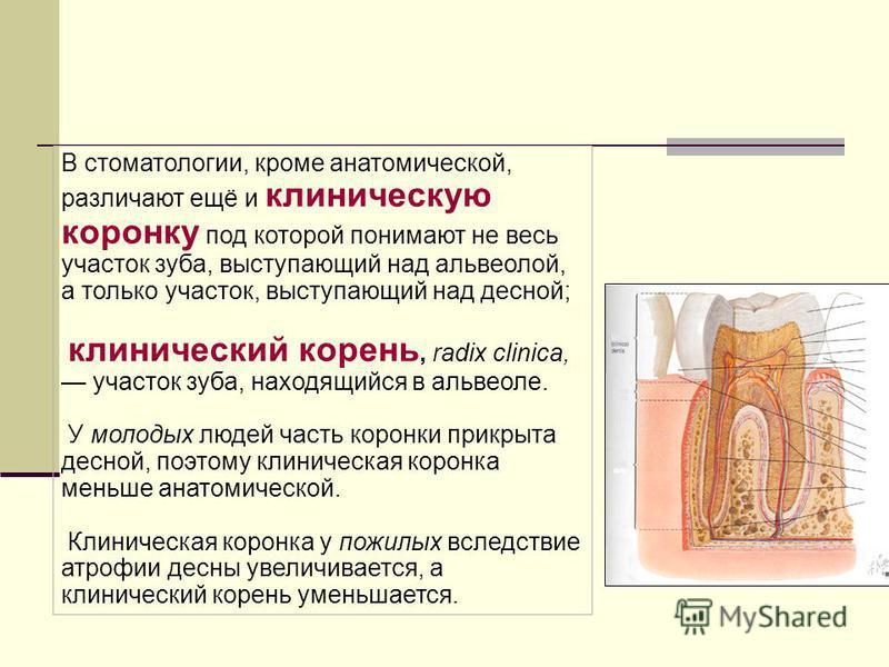 В стоматологии, кроме анатомической, различают ещё и клиническую коронку под которой понимают не весь участок зуба, выступающий над альвеолой, а только участок, выступающий над десной; клинический корень, radix clinica, участок зуба, находящийся в ал