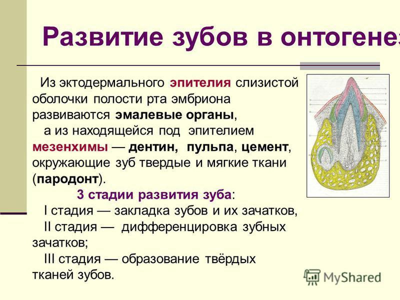 Из эктодермального эпителия слизистой оболочки полости рта эмбриона развиваются эмалевые органы, а из находящейся под эпителием мезенхимы дентин, пульпа, цемент, окружающие зуб твердые и мягкие ткани (пародонт). 3 стадии развития зуба: I стадия закла