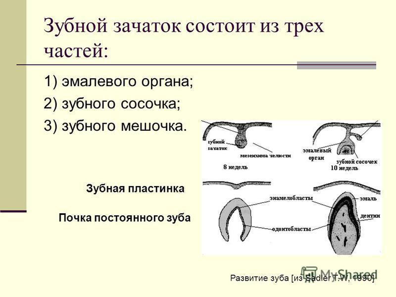 Зубной зачаток состоит из трех частей: 1) эмалевого органа; 2) зубного сосочка; 3) зубного мешочка. Зубная пластинка Почка постоянного зуба Развитие зуба [из Sadler T.W, 1990]