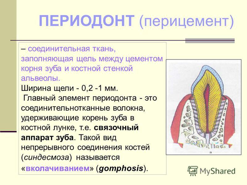 – соединительная ткань, заполняющая щель между цементом корня зуба и костной стенкой альвеолы. Ширина щели - 0,2 -1 мм. Главный элемент периодонта - это соединительнотканные волокна, удерживающие корень зуба в костной лунке, т.е. связочный аппарат зу