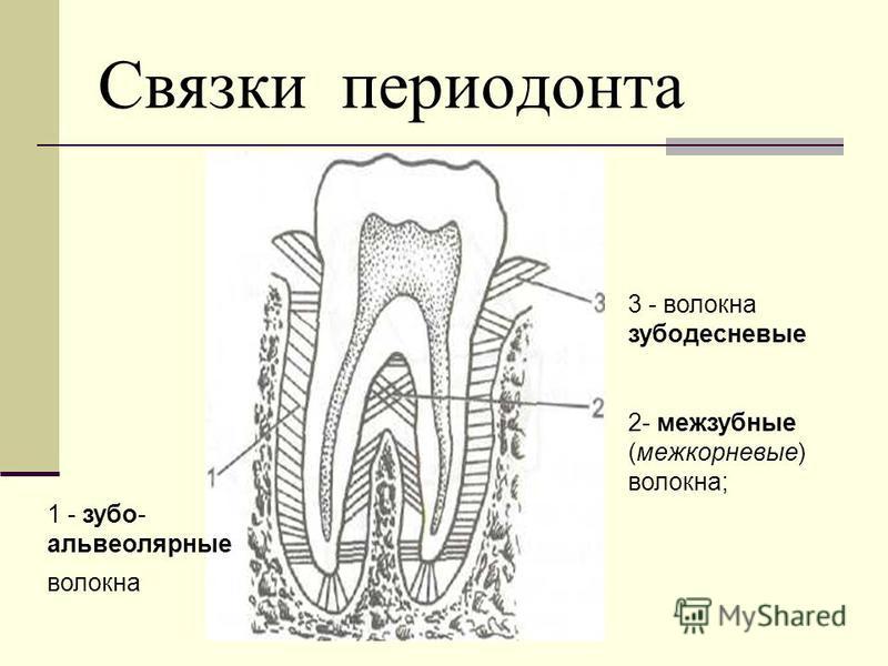 Связки периодонта 3 - волокна зубодесневые 2- межзубные (межкорневые) волокна; 1 - зубо- альвеолярные волокна