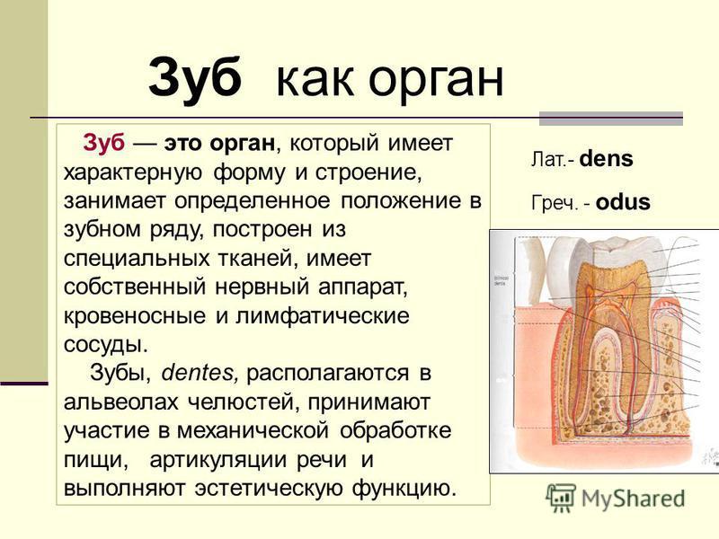 Зуб это орган, который имеет характерную форму и строение, занимает определенное положение в зубном ряду, построен из специальных тканей, имеет собственный нервный аппарат, кровеносные и лимфатические сосуды. Зубы, dentes, располагаются в альвеолах ч