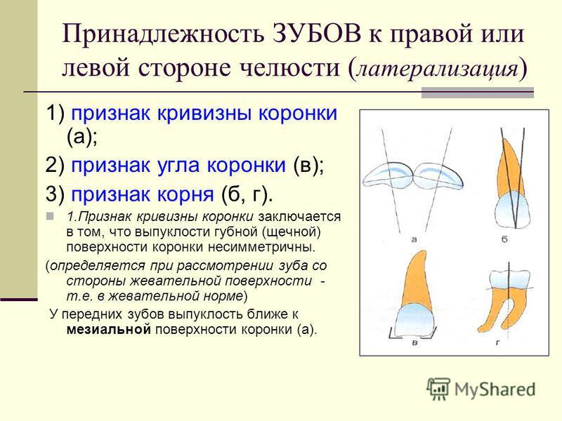 Принадлежность ЗУБОВ к правой или левой стороне челюсти ( латерализация ) 1) признак кривизны коронки (а); 2) признак угла коронки (в); 3) признак корня (б, г). 1. Признак кривизны коронки заключается в том, что выпуклости губной (щечной) поверхности