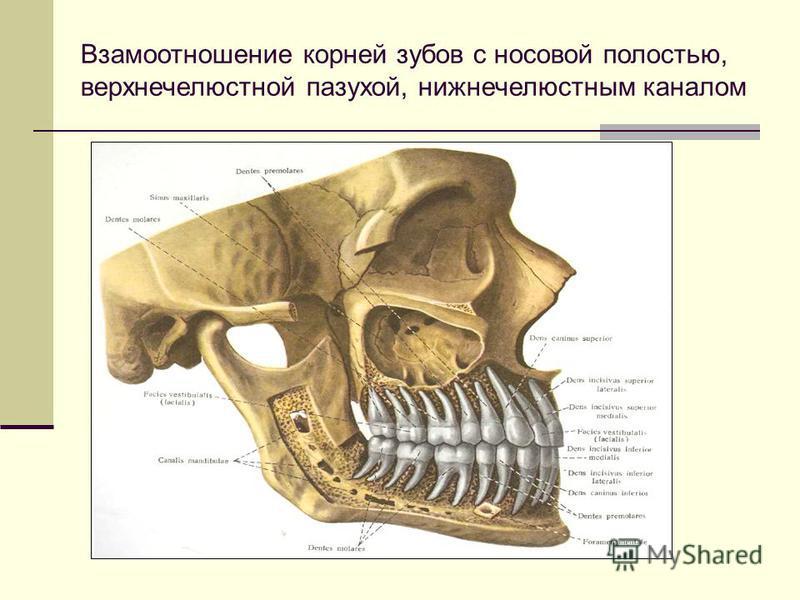 Взамоотношение корней зубов с носовой полостью, верхнечелюстной пазухой, нижнечелюстным каналом