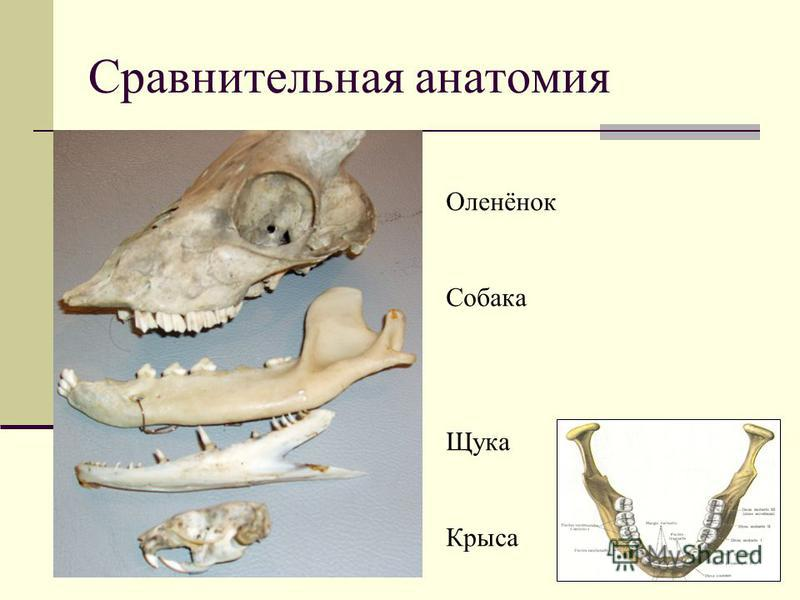 Сравнительная анатомия Оленёнок Собака Щука Крыса