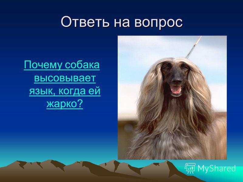 Ответь на вопрос Почему собака высовывает язык, когда ей жарко?Почему собака высовывает язык, когда ей жарко?