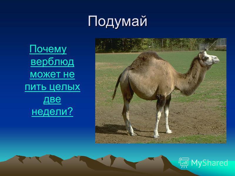 Подумай Почему верблюд может не пить целых две недели?