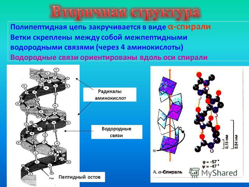 Полипептидная цепь закручивается в виде α-спирали Ветки скреплены между собой межпептидными водородными связями (через 4 аминокислоты) Водородные связи ориентированы вдоль оси спирали Пептидный остов Радикалы аминокислот Водородные связи