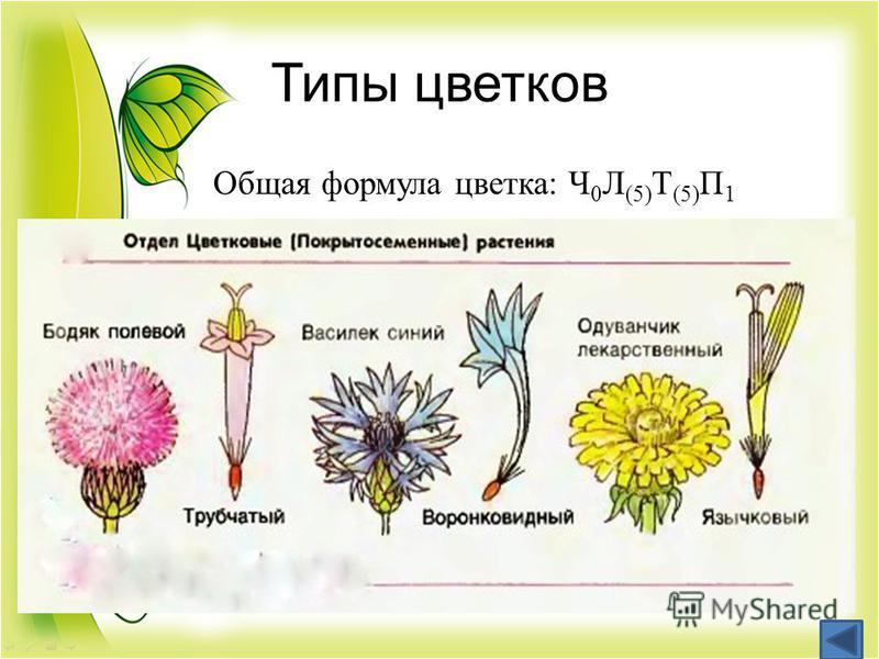 Типы цветков Общая формула цветка: Ч 0 Л (5) Т (5) П 1