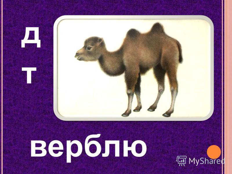 д т верблюд