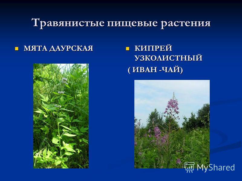 Травянистые пищевые растения МЯТА ДАУРСКАЯ МЯТА ДАУРСКАЯ КИПРЕЙ УЗКОЛИСТНЫЙ ( ИВАН -ЧАЙ)