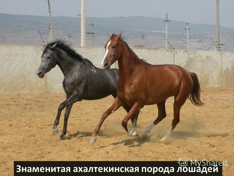 Знаменитая ахалтекинская порода лошадей