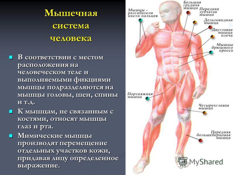 Мышечная система человека В соответствии с местом расположения на человеческом теле и выполняемыми фикциями мышцы подразделяются на мышцы головы, шеи, спины и т.д. В соответствии с местом расположения на человеческом теле и выполняемыми фикциями мышц